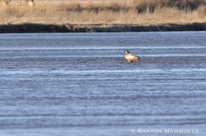 An immature bald eagle lands in the river