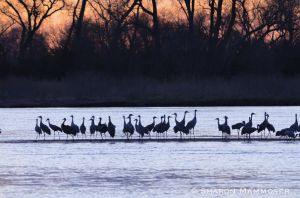 Cranes will roost on the sandbars