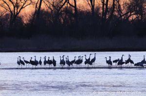 Cranes will roost on the sandbars