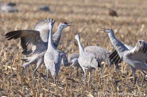 Sandhill cranes in the corn fields