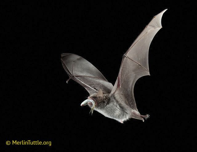 The creatures of halloween 10 things you might not know for Fish eating bat