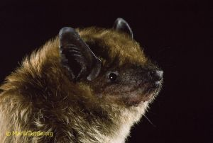 Big Brown bat--one of our common NA bats