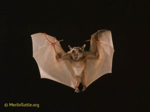 Epauletted fruit bat in Kenya