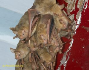 Formosan golden bat, Asia