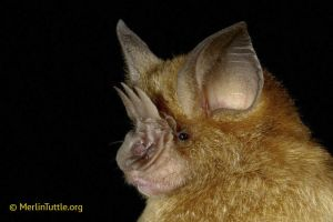 Grandidler's trident bat from Madagascar