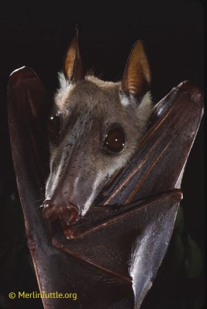 Hammer-headed bat, Africa