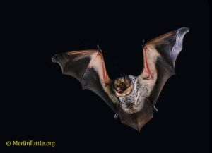 Hoary bat of North America