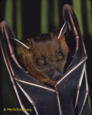 Lesser short-nosed fruit bat, Thailand