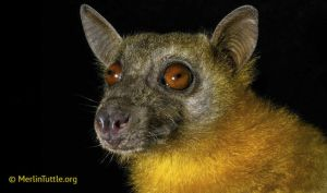 Medagascan fruit bat