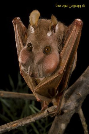 Minor epauletted fruit bat Africa-- (turned upside down!)