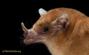 Orange nectar bat in tropical forests