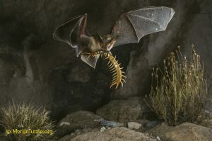Pallid bat with centipede--they are not affected by the stings!