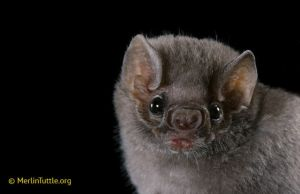 Hairy-legged vampire bat--these feed on the blood of birds