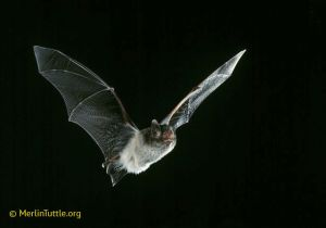 Indiana myotis--one of our endangered species