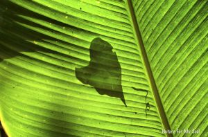 Heart Shadow, Costa Rica