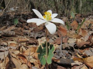 Bloodroot, By Barbara