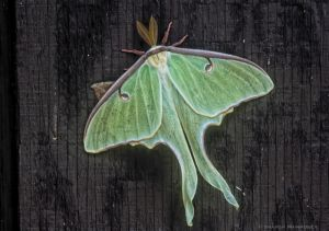 A beautiful luna moth