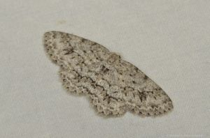 Moth on sheet