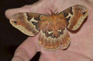 Tulip Moth