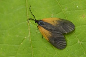 Orange patched-smoky moth