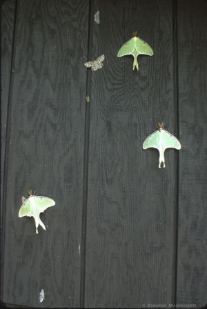 Multiple luna moths