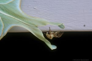 A luna moth with another smaller moth