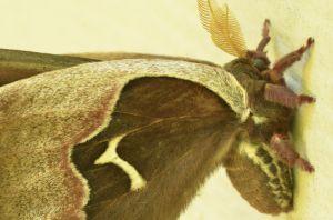 Tulip moth,male