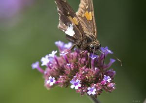 Skipper on Milkweed by Jock