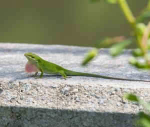 Lizard by Jock