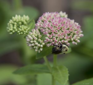 Bee on Milkweed, by Jock