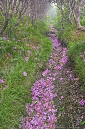 Trail of pink petals