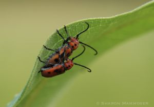 Milkweed beetles mating