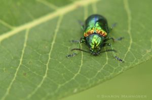 Beetle on milkweed