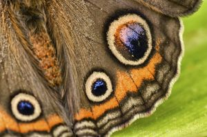 Eye spots on a Buckeye wing