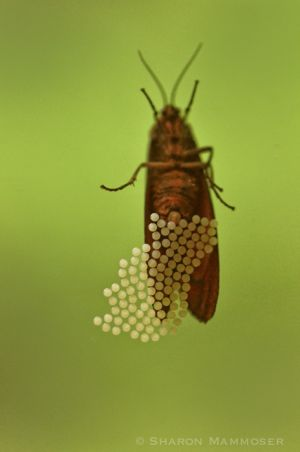 An insect laying round eggs