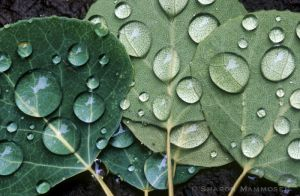 Water on Aspen leaves