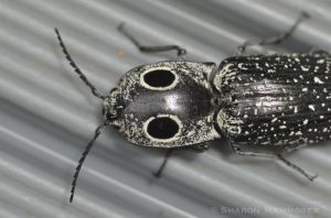 Fake eye spots on a click beetle