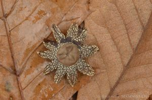 Star fungus has a round center