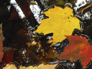 Maple leaves, by Lead Dog