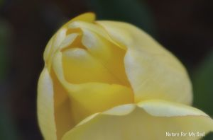 Softness of a rose