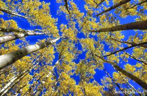Aspens and blue sky