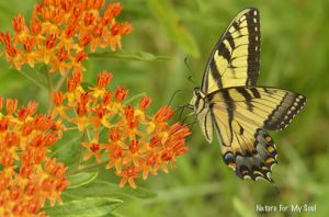 Tiger swallowtail on butterfly weed