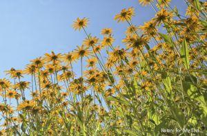 A field of black eyed susans