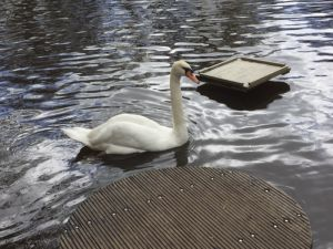 Swan, by Arden
