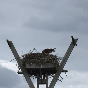 Osprey nest in Florida, by Arden