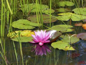 Water Lily, WNY, by Chris M