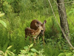 Fawn with Mother in WNY, by Chris M