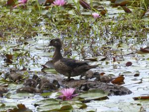 Duck with many ducklings at Reinstein Woods, NY, by Chris M