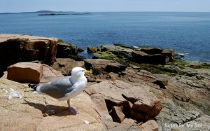 Seagull on the coast in Maine
