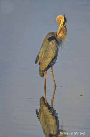 Perfect great blue heron